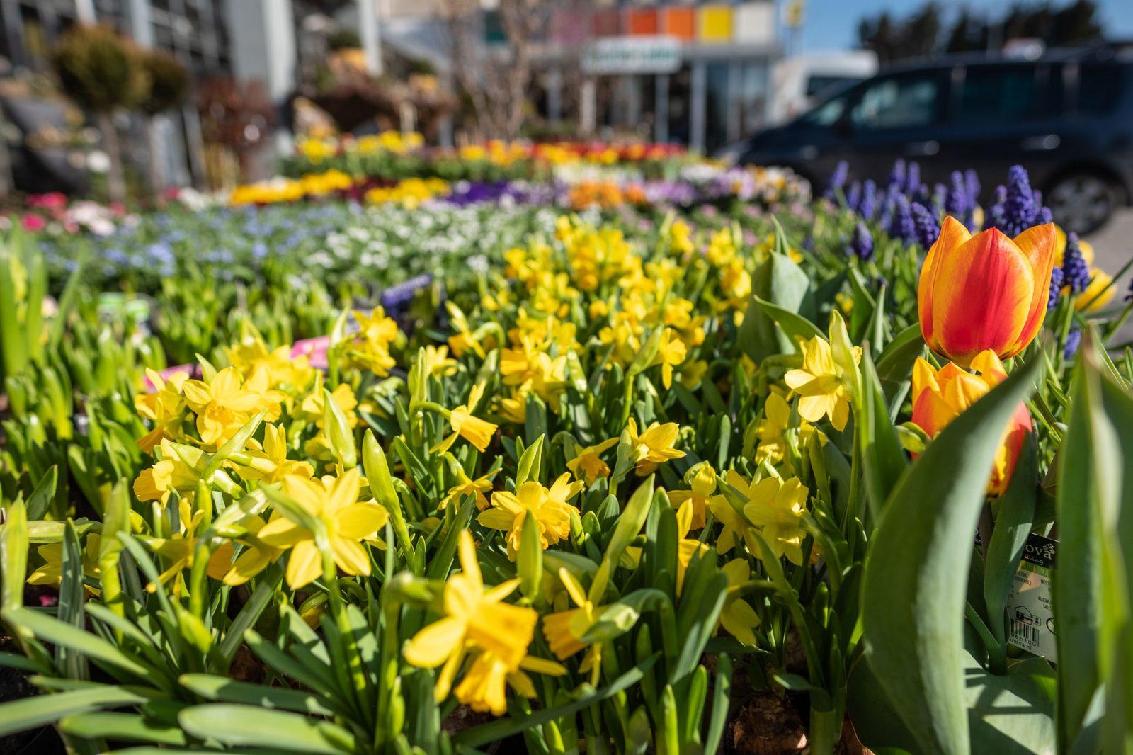 Gartentipps Marz Fruhlingserwachen Blumen Ruprecht Gleisdorf